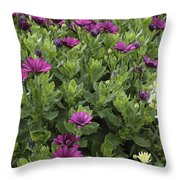 Osteospermum Flowers Throw Pillow by Erin Paul Donovan