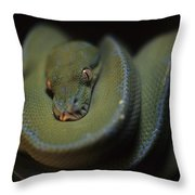 An Immature Green Tree Python Curled Throw Pillow by Taylor S. Kennedy
