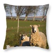 Sheep, Lake District, Cumbria, England Throw Pillow by John Short