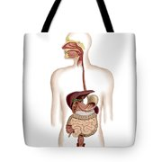 Anatomy Of Human Digestive System Tote Bag by Stocktrek Images