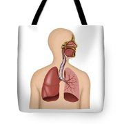 Anatomy Of Human Respiratory System Tote Bag by Stocktrek Images