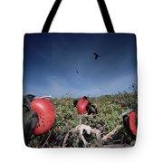Great Frigatebird Males In Courtship Tote Bag by Tui De Roy