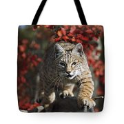Bobcat Felis Rufus Walks Along Branch Tote Bag by David Ponton