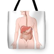 Adult Male Digestive System Tote Bag by Science Source