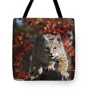 Bobcat Felis Rufus Walks Along Branch Tote Bag by David Ponton