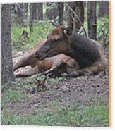 Elk In  Yellowstone Park  Wood Print by Larry Stolle