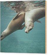 California Sea Lions Playing Sea Wood Print by Tui De Roy