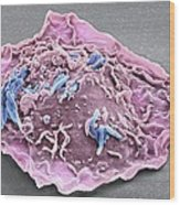 Macrophage Engulfing Tb Bacteria, Sem Wood Print by Science Photo Library