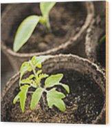 Seedlings  Wood Print by Elena Elisseeva