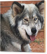 Miley The Husky With Blue And Brown Eyes  Wood Print by Doc Braham