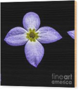 Bluets Wood Print by Thomas R Fletcher