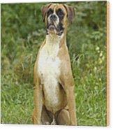Boxer Dog Wood Print by Jean-Michel Labat