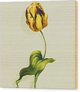A Parrot Tulip Wood Print by James Holland