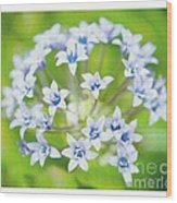 Agapantha Purple Flowers Wood Print by Artist and Photographer Laura Wrede