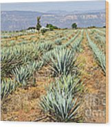 Agave Cactus Field In Mexico Wood Print by Elena Elisseeva