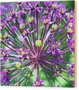 Allium Series - Close Up Wood Print by Moon Stumpp