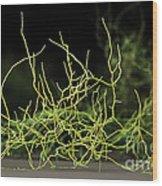 Aspergillus Niger Fungus Sem Wood Print by Eye of Science