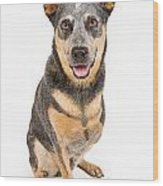 Australian Cattle Dog With Missing Leg Isolated On White Wood Print by Susan Schmitz