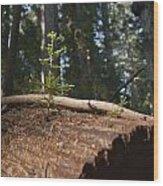 Baby Redwood Wood Print by Joel Moranton