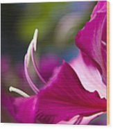 Bauhinia Purpurea - Hawaiian Orchid Tree Wood Print by Sharon Mau