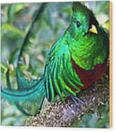 Beautiful Quetzal 4 Wood Print by Heiko Koehrer-Wagner