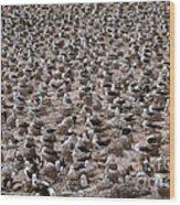 Black-browed Albatross Nesting Colony Wood Print by Art Wolfe