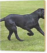 Black Labrador Playing Wood Print by Johan De Meester