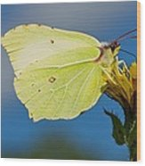 Brimstone Butterfly Wood Print by Science Photo Library