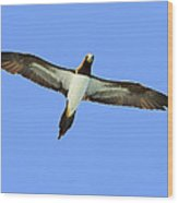 Brown Booby Wood Print by Tony Beck