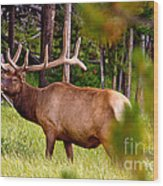 Bull Elk Wood Print by Bill Gallagher