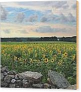 Buttonwood Farm Sunflowers Wood Print by Andrea Galiffi