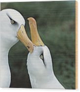 Campbell Albatrosses Courting Campbell Wood Print by Tui De Roy