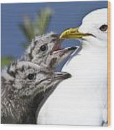 Close Up Of A Mew Gull With Two Hungry Wood Print by Ken Baehr