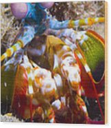 Close-up View Of A Mantis Shrimp Wood Print by Steve Jones
