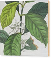 Coffea Arabica Wood Print by Pancrace Bessa