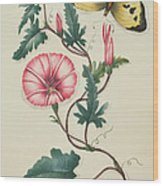 Convolvulus With Yellow Butterfly Wood Print by English School