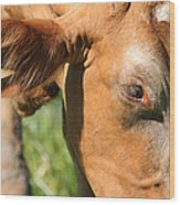 Cow Closeup 7d22391 Wood Print by Wingsdomain Art and Photography