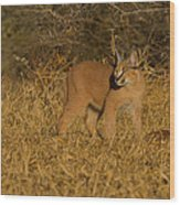 Curious Caracal Cub Wood Print by Ashley Vincent