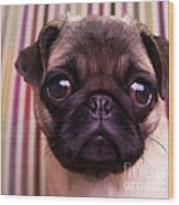 Cute Pug Puppy Wood Print by Edward Fielding