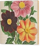 Dahlia Coccinea From A Begian Book Of Flora. Wood Print by Philip Ralley