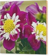 Dahlia Dahlietta 'surprise Becky' Wood Print by Science Photo Library