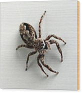 Elegant Jumping Spider Wood Print by Christina Rollo