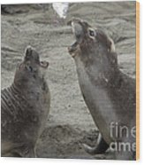 Elephant Seal Confrontation Wood Print by Mark Newman
