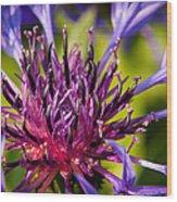 Fairy Dust - Centaurea Wood Print by Matt Dobson