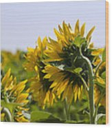 French Sunflowers Wood Print by Georgia Fowler