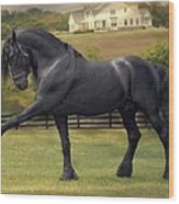 Friesian Stallion Tije Spanish Walk Wood Print by Fran J Scott