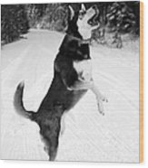 Frolicking In The Snow - Black And White Wood Print by Carol Groenen