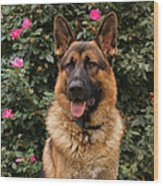German Shepherd Dog Wood Print by Sandy Keeton