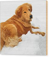 Golden Retriever Snowball Wood Print by Christina Rollo