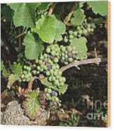 Grapevine. Burgundy. France. Europe Wood Print by Bernard Jaubert